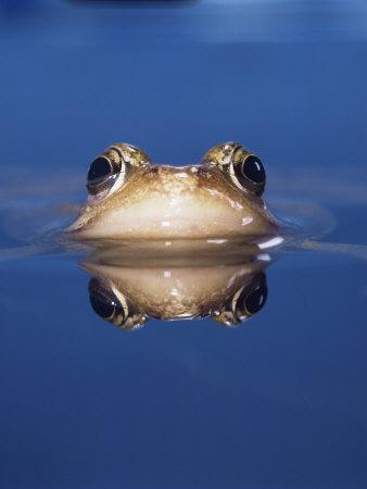 Common Frog (Rana Temporaria) Wiping Eye with Nictating Membrane