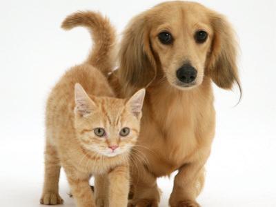 Cream Kitten with Cream Dapple Dachshund Puppy by Jane Burton