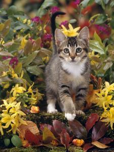 Domestic Cat, 12-Week, Agouti Tabby Kitten Among Yellow Azaleas and Spring Foliage by Jane Burton