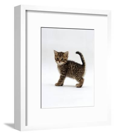 Domestic Cat, 6-Week Tabby Chinchilla Crossed with British Shorthair Kitten