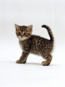 Domestic Cat, 6-Week Tabby Chinchilla Crossed with British Shorthair Kitten by Jane Burton