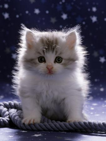 Domestic Cat, 7-Week Fluffy Silver and White Kitten by Jane Burton