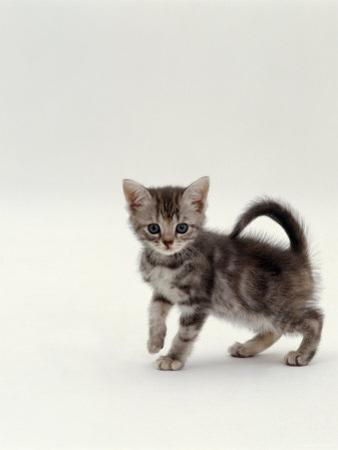 Domestic Cat, 8-Week, Silver Tortoiseshell Kitten by Jane Burton