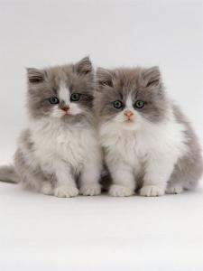 Domestic Cat, 9-Week, Blue Bicolour Persian Kittens by Jane Burton