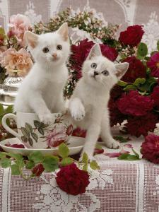 Domestic Cat, Amber-Eyed and Blue-Eyed White Kittens in a Large Teacup with Bowl of Roses by Jane Burton