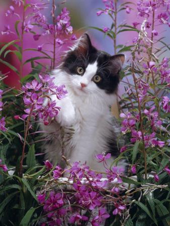 Domestic Cat, Black Bicolour Persian-Cross Kitten Among Rosebay Willowherb by Jane Burton