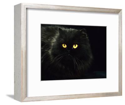 Domestic Cat, Black Persian Female at Night, Yellow Eyes Shining