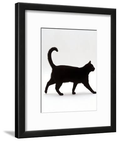 Domestic Cat, Black Short-Hair Male, Walking Profile