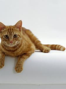 Domestic Cat, British Shorthair Red Tabby Female by Jane Burton