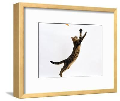 Domestic Cat, Brown Spotted Bengal Female Leaping for Toy
