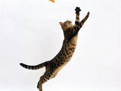 Domestic Cat, Brown Spotted Bengal Female Leaping for Toy by Jane Burton