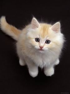 Domestic Cat, Cream Persian-Cross Kitten Sitting, Shot from Above by Jane Burton