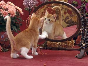 Domestic Cat, Ginger and White Kitten Looking at Reflection in Mirror by Jane Burton