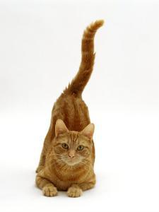 Domestic Cat, Ginger Tabby Female with Rear End and Tail in Air after Enjoying Being Stroked by Jane Burton