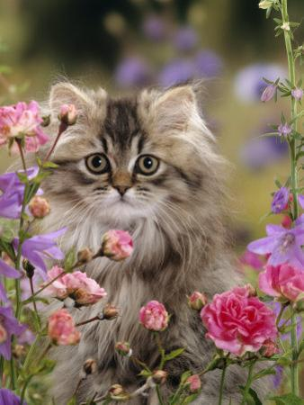 Domestic Cat, Portrait of Long Haired Tabby Persian Kitten Among Dwarf Roses and Bellflowers by Jane Burton
