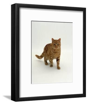 Domestic Cat, Red Tabby Male