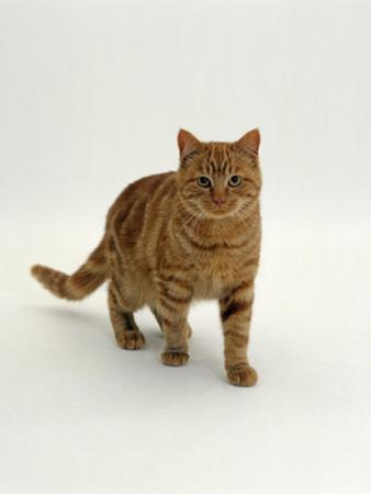 Domestic Cat, Red Tabby Male by Jane Burton