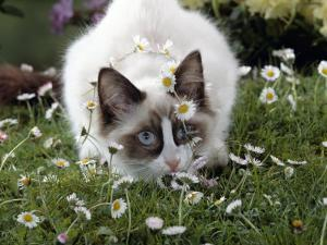 Domestic Cat, Seal Bicolour Ragdoll Kitten Decked in Daisy Chain by Jane Burton