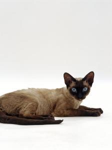 Domestic Cat, Seal-Point Devon Si-Rex by Jane Burton