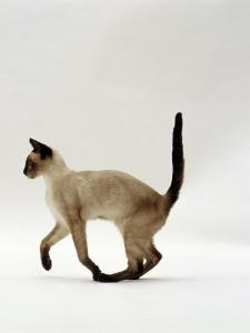 Domestic Cat, Seal Point Siamese Juvenile Running Profile by Jane Burton