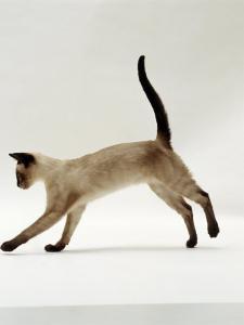 Domestic Cat, Seal-Point Siamese Juvenile Running Profile by Jane Burton