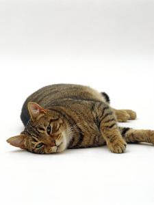 Domestic Cat, Striped Tabby Male Lying on Side by Jane Burton