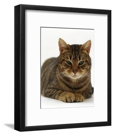 Domestic Cat, Striped Tabby Male