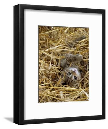 Domestic Cat, Tabby Farm Kitten Playing in Straw