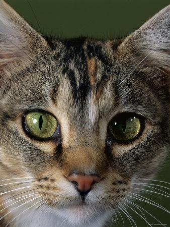 Domestic Cat, Tabby Tortoiseshell, Close-Up of Eyes with Pupils Dilated Closed in Bright Light