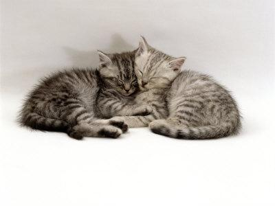 Domestic Cat, Two 7-Week Sleeping Silver Tabby Kittens