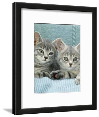 Domestic Cat, Two 8-Week Blue Tabby Kittens