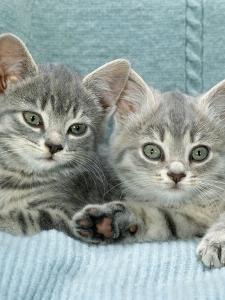 Domestic Cat, Two 8-Week Blue Tabby Kittens by Jane Burton