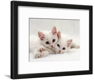 Domestic Cat, Two White Persian-Cross Kittens, One Odd-Eyed