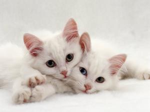 Domestic Cat, Two White Persian-Cross Kittens, One Odd-Eyed by Jane Burton