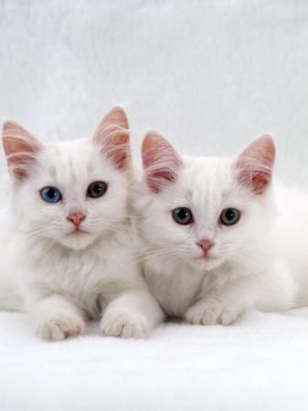 Domestic Cat, White Semi-Longhair Turkish Angora Kittens, One with Odd Eyes by Jane Burton