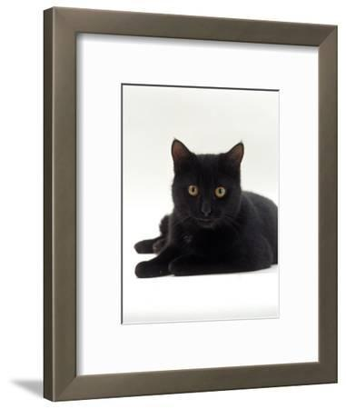 Domestic Cat, Young Black Male