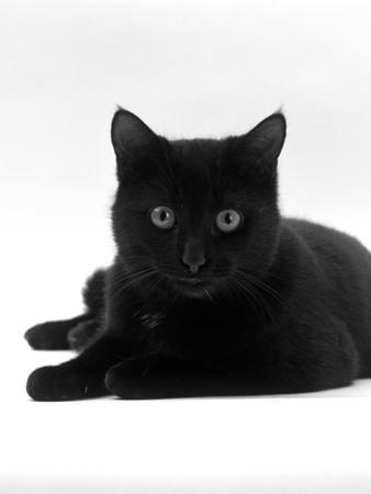 Domestic Cat, Young Black Male by Jane Burton