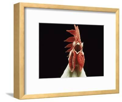 Domestic Chicken, White Leghorn Cockerel Crowing