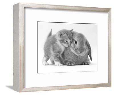 Domestic Kitten (Felis Catus) Next to Bunny, Domestic Rabbit