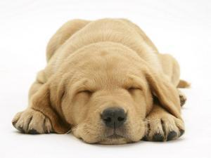 Domestic Labrador Puppy (Canis Familiaris) Sleeping by Jane Burton