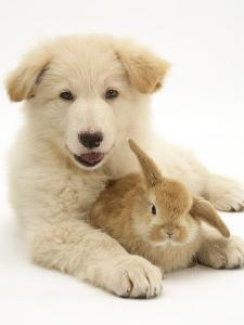 Domestic Puppy (Canis Familiaris) with Bunny by Jane Burton