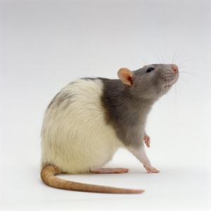 Domestic Rat Sitting Alert by Jane Burton
