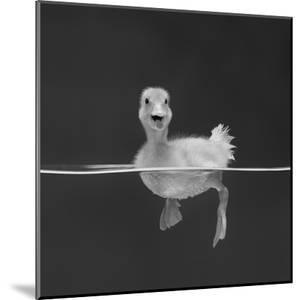 Duckling Swimming on Water Surface, UK by Jane Burton
