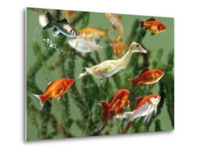 Duckling Swims Underwater Among Goldfish