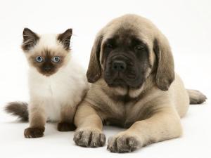 English Mastiff Puppy with Young Birman-Cross Cat by Jane Burton