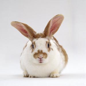 Fawn English-Spotted Rabbit, Female by Jane Burton