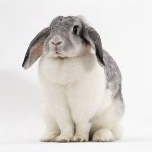 Female Silver and White French Lop-Eared Rabbit by Jane Burton