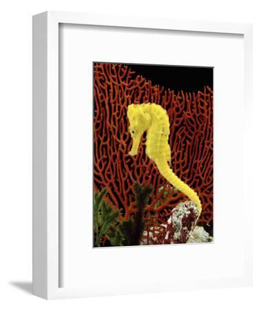 Golden Seahorse, Portraits, UK
