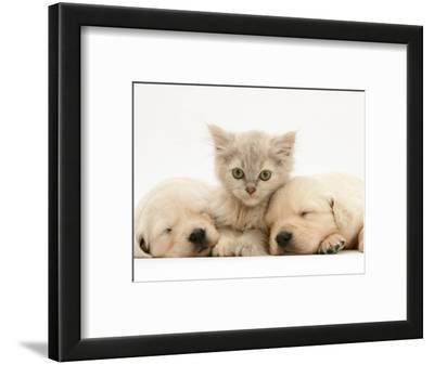 Lilac Tortoiseshell Kitten Between Two Sleeping Golden Retriever Puppies