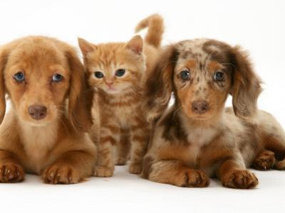 Miniature Long-Haired Dachshund Puppies with British Shorthair Red Tabby Kitten by Jane Burton